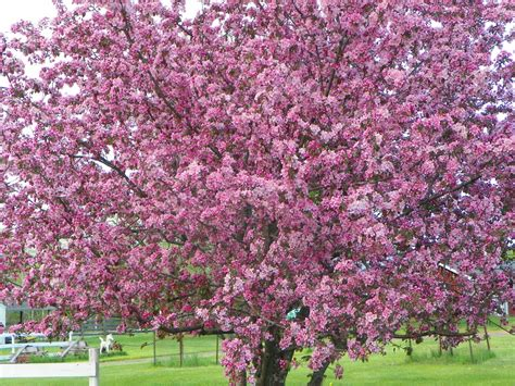 top 28 prettiest flowering trees 20 most beautiful flowering trees around the world 20