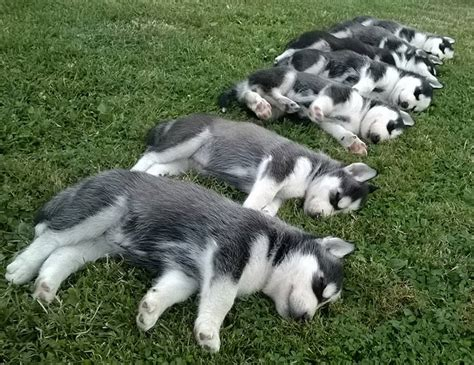 how between puppies the siberian husky