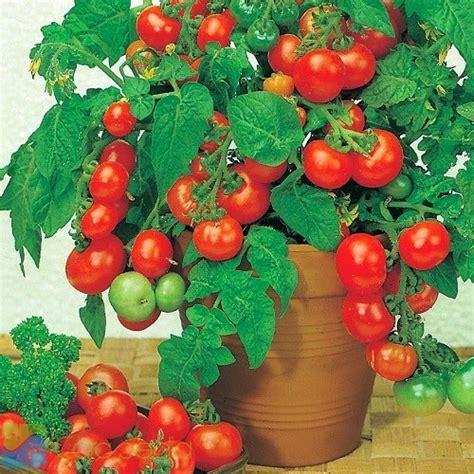 Plastik Tomat 1 cara budidaya tomat dalam pot polybag peluang bisnis