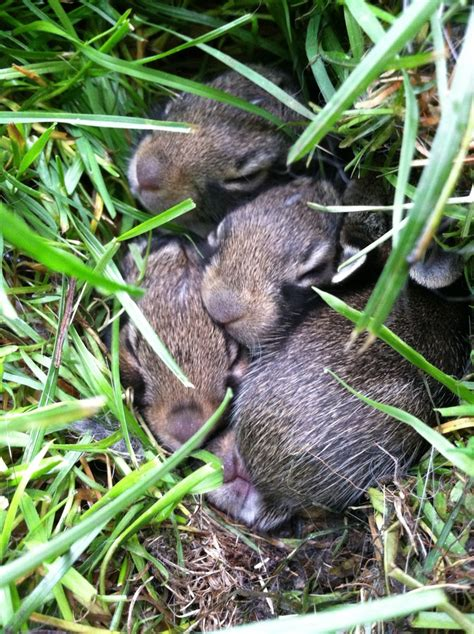baby bunnies in my backyard pin by hassie betz on amazing animals pinterest
