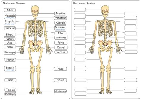 human bones diagram human skeleton diagram labelling sheets free early years