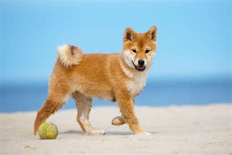 dogs with curly tails 13 dogs with curly tails american kennel club