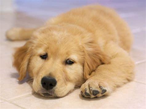 golden retriever 10 weeks 10 week golden retriever puppy golden retrievers