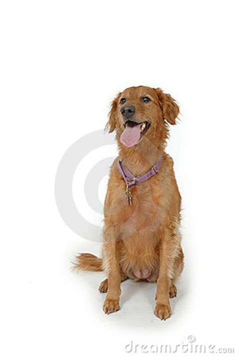 golden retriever brown golden retriever brown stock photo image 2217580