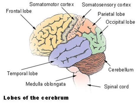 the human frontal lobes third edition functions and disorders science and practice of neuropsychology books seer brain