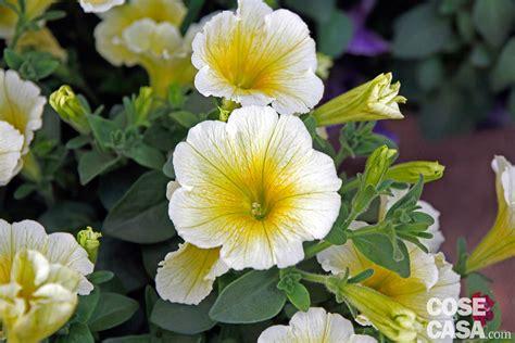 petunia fiore petunia hybrida petunia cose di casa