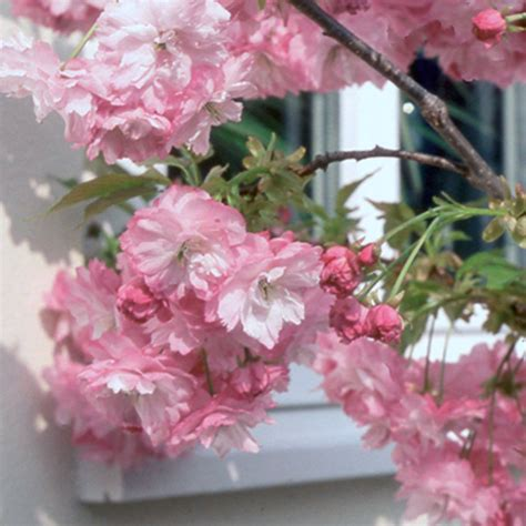 small pink tree prunus pink perfection cherry blossom tree