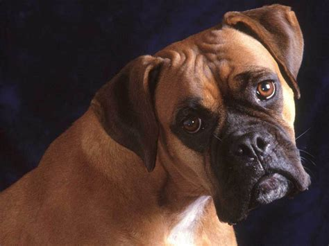 boxers dogs wallpapers boxer wallpapers