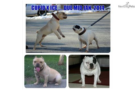 shorty bull puppies for sale shorty bull puppy for sale near hudson valley new york df53828e ecd1
