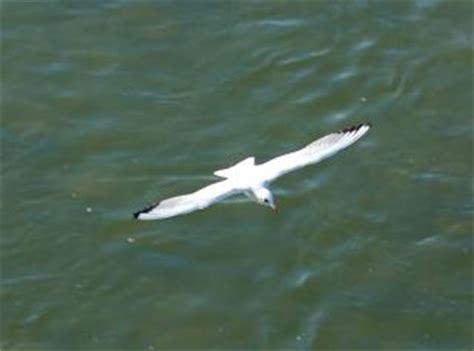 il gabbiano uccello gabbiano uccello scaricare foto gratis