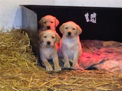 golden retriever puppies for sale in wiltshire fox golden labrador puppies for sale swindon wiltshire pets4homes