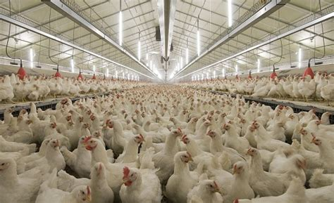 poultry house lighting systems poultry lighting lighting ideas