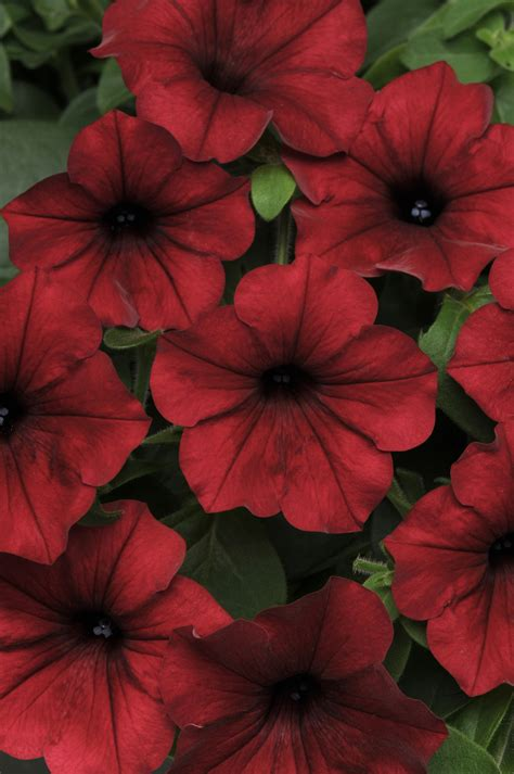 Wave And Flower petunia tidal wave 174 velour f1 all america selections