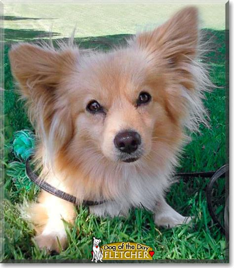 pomeranian corgi mix corgi pomeranian mix puppies breeds picture
