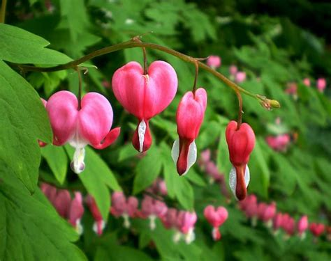 Beautiful Flowers Bleeding Heart Flower Pictures Meanings Bleeding Flower Meaning