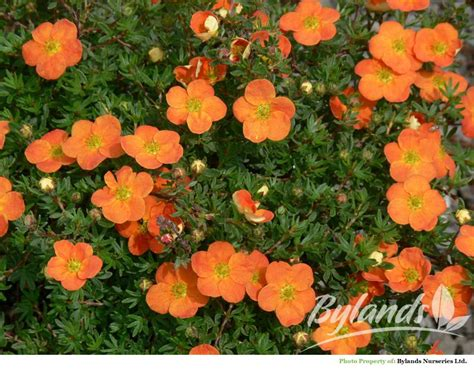 red ace potentilla potentilla fruticosa red ace bylands nurseries ltd