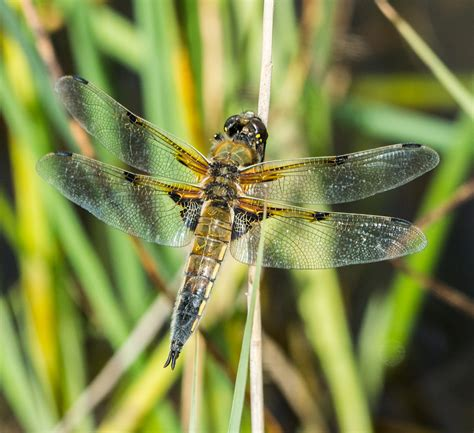 Dragonfly L by Dragonflies And Insects Paull Holme Strays