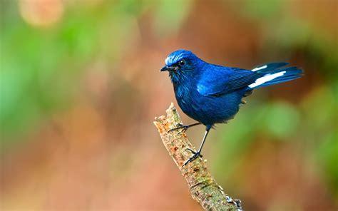 blue bird hd wallpaper  desktop mobile