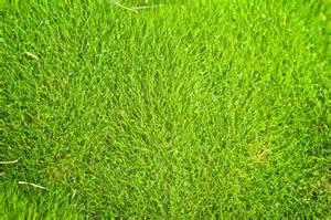 no fuss lawns with zoysia grass gardening know how