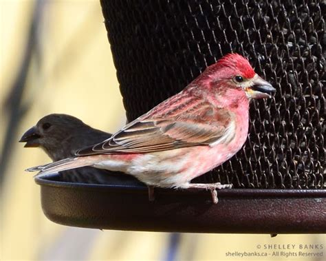 purple finch vs house finch prairie nature purple finches vs red house finches in