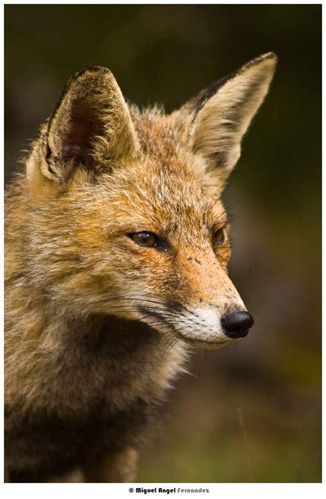 imagenes comicas de zorros imagenes de zorros taringa