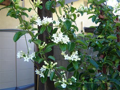 fragrant climbing plants fragrant white climbers
