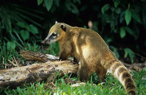 coati attack dangerous of wild animals coati