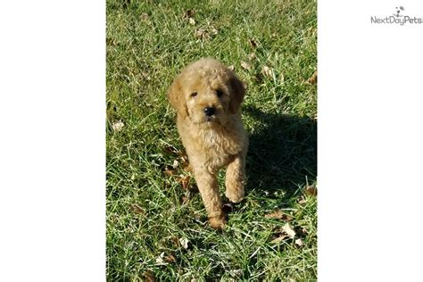 goldendoodle puppies for sale in kansas city boston goldendoodle puppy for sale near kansas city