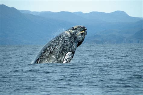 whale watching on the oregon coast