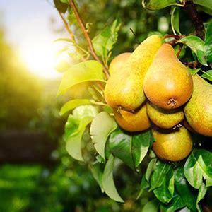 albero giardino 10 alberi da frutto da coltivare nell orto in giardino o