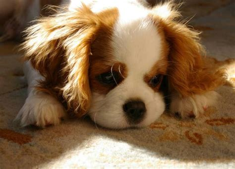 king cavalier puppy puppies cavalier king charles spaniel puppies