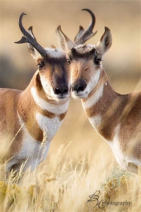 24 best images about pronghorned antelope on