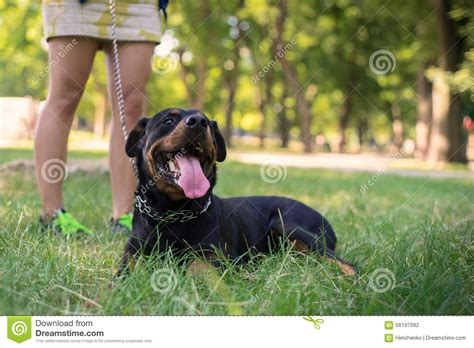 rottweiler walking rottweiler are walking in park stock photo image 56197092