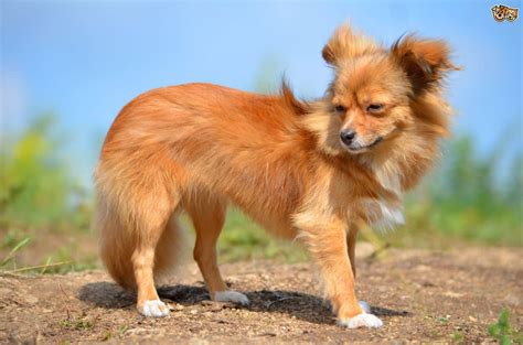 pictures of long haired chihuahua haircuts long haired chihuahua puppies 15 grooming tips for better