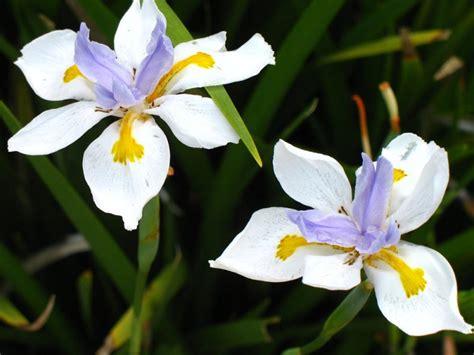 iris california
