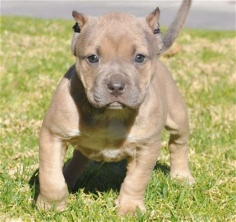 american bull puppy american bully puppies images images