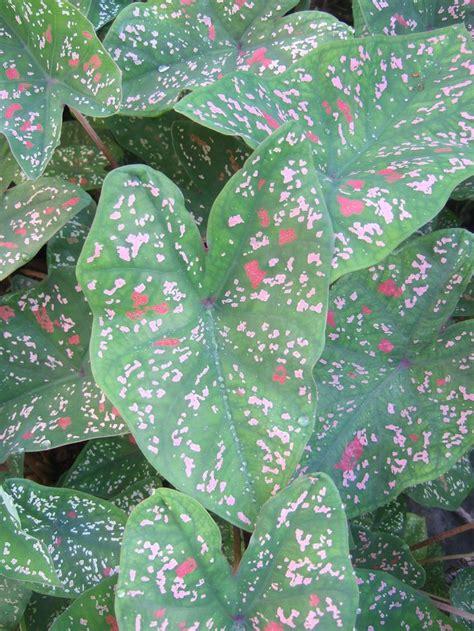 Tanaman Calathea Ornata Pinstripe 398 best caladiums maranta y calathea images on