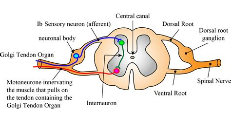 diagram of reflex monosynaptic reflex arc diagram image collections how to