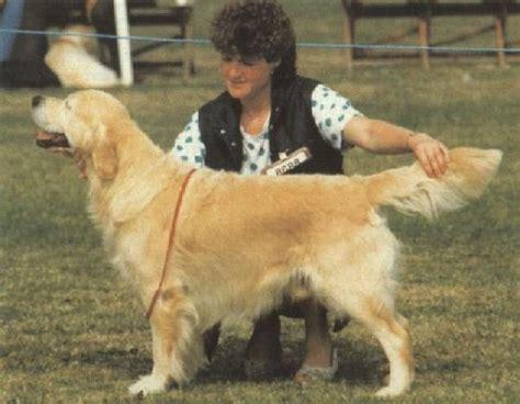 golden retriever pedigree database sansue castalian