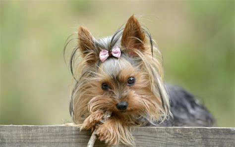 do teacup yorkies health problems how many puppies does a teacup yorkie care the daily puppy