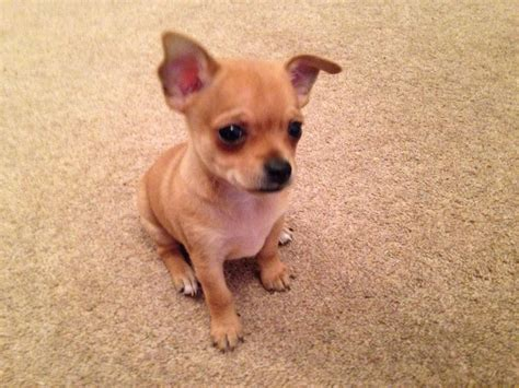 chihuahua for sale 3 beautiful chihuahua puppies for sale basildon essex pets4homes