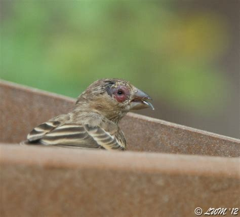 house finch disease eye diseases of house finches butterfly and wildlife
