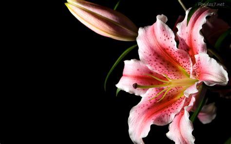 wallpaper flower lily pretty lily flower wallpaper 1280x800 23442