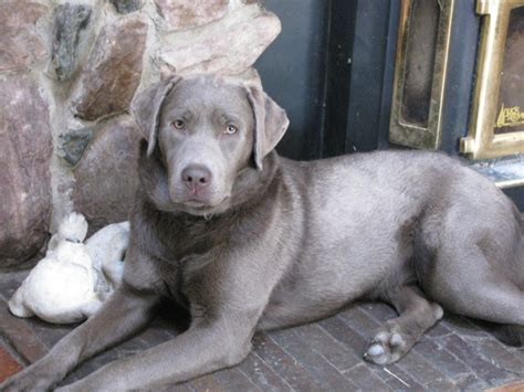 silver lab puppies silver silver lab customer testimonials