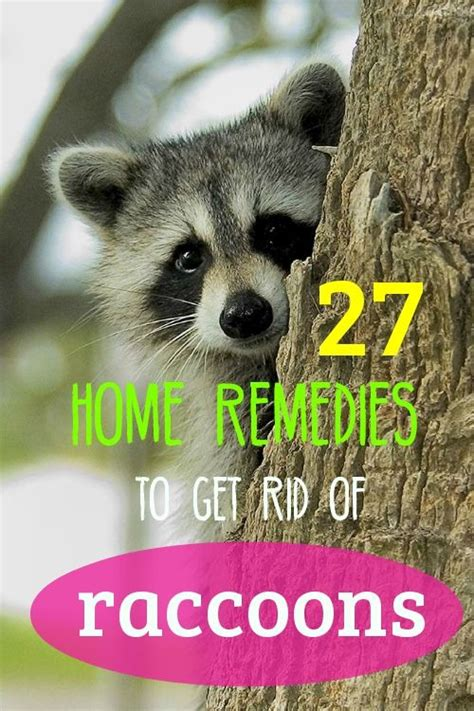 here s how to remove raccoons using safe and cost