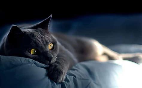 Russian Cat Meme - blue russian cat sleeping memes