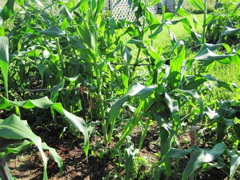 Stalk Get Hammered by Corn Common Sense Homesteading