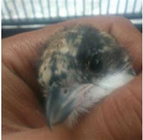 Jual Tempat Pakan Burung Liar cara merawat burung cendet muda hutan gembala news