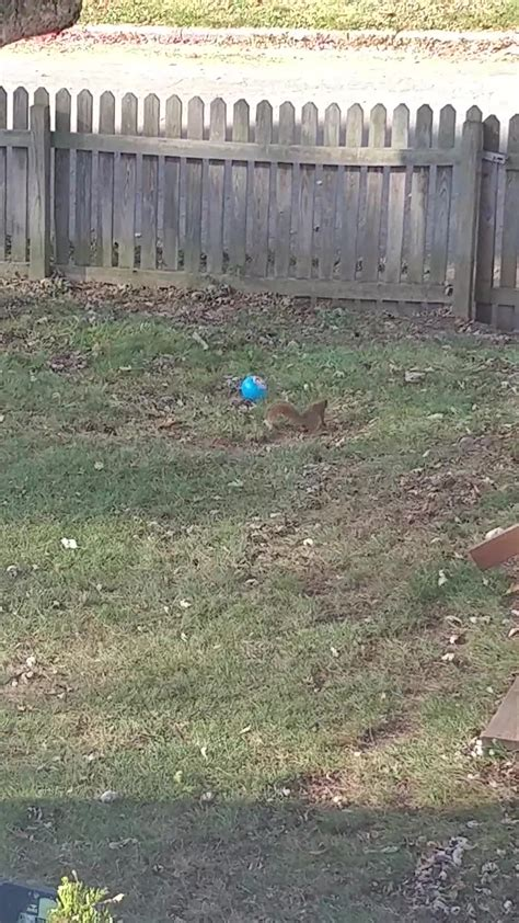 backyard finds squirrel in my neighbor s backyard finds a ball gif create discover and share on gfycat