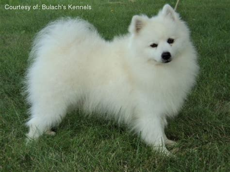 American Eskimo Shed by American Eskimo Shedding Problem 28 Images Fluffy Small Breed Dogs Alaskan Klee Temperament